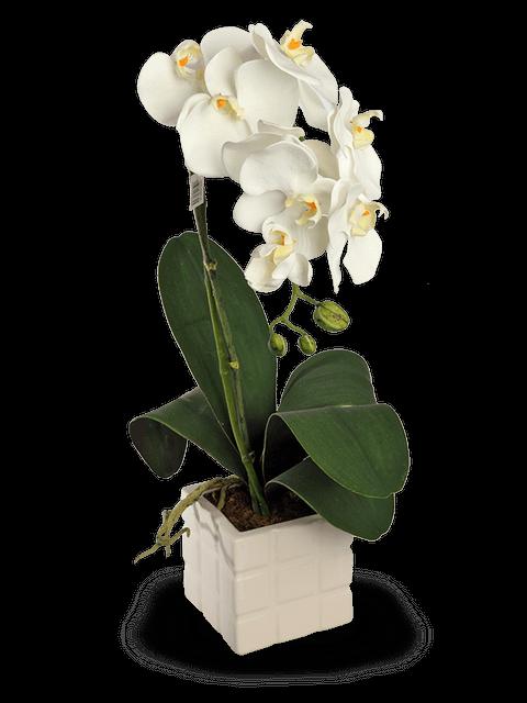 Orchidea Phalenopsis color bianco