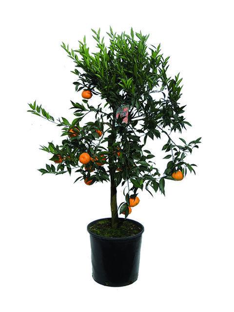 Pianta di mandarino