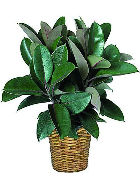 Pianta Ruber Plant