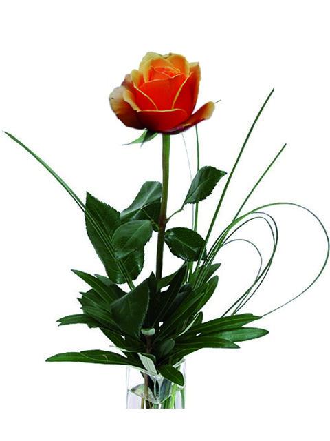 una rosa arancione