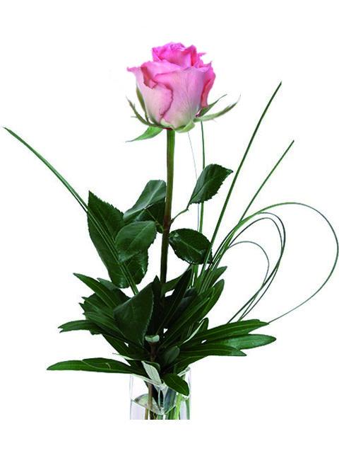 una rosa dai toni rosastri